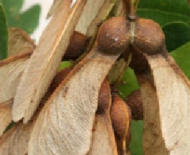 Sycamore seed