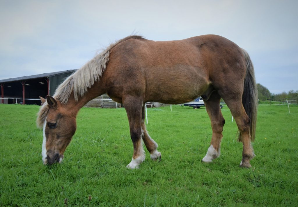Veteran horse grazing